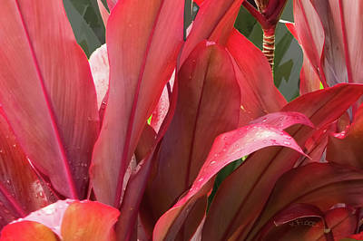 Photograph - Hawaiian Red Ti Plant 1 by Michael Flood
