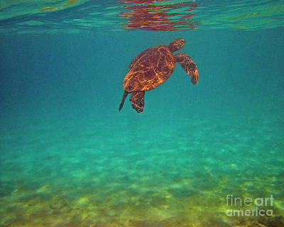 Hawaiian Green Sea Turtle Photograph - Hawaiian Sea Turtle - Floating by Bette Phelan