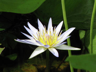 Photograph - Hawaiian Water Lily 02 - Kauai, Hawaii by Pamela Critchlow