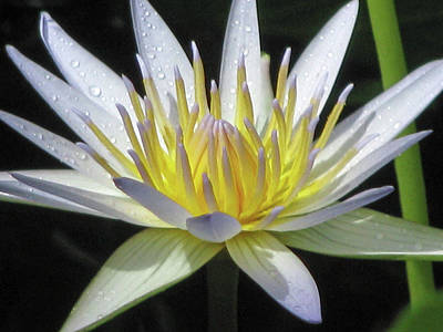 Photograph - Hawaiian Water Lily 04 - Kauai, Hawaii by Pamela Critchlow