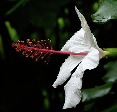 Photograph - Hawaiian White Hibiscus by Margaret Saheed