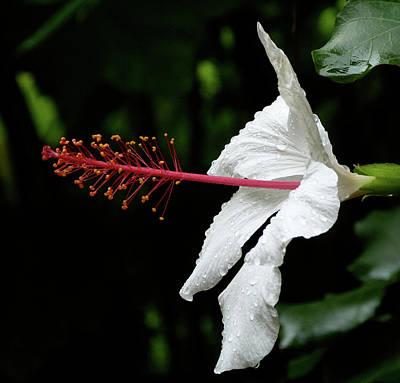 Photograph - Hawaiian White Hibiscus by Margaret Saheed