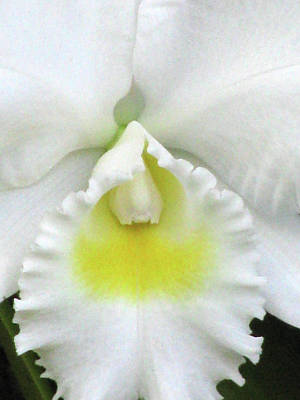Photograph - Hawaiian White Orchid Flower 03 by Pamela Critchlow