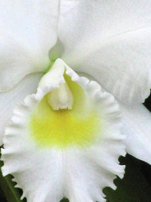 Photograph - Hawaiian White Orchid Flower 04 by Pamela Critchlow