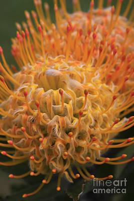 Photograph - Hawaiin Blossom by Robin Maria Pedrero