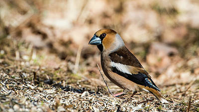 Photograph - Hawfinch's Gaze by Torbjorn Swenelius