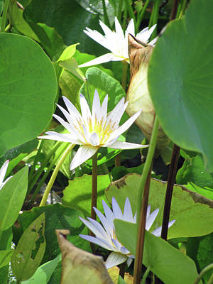Photograph - Hawiian Water Lily 01 - Kauai, Hawaii by Pamela Critchlow