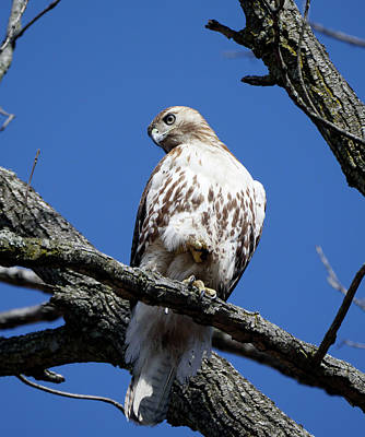 Photograph - Hawk 2 by Paul Ross