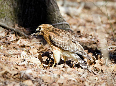 Photograph - Hawk And Gecko by George Randy Bass