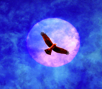 Photograph - Hawk And Moon by Marie Jamieson