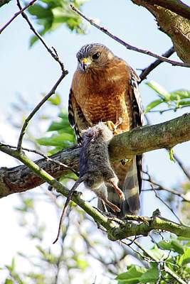 Photograph - Hawk And Mouse by Diana Haronis