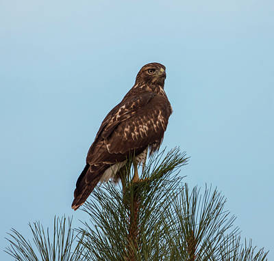 Red Tail Hawk Photograph - Hawk At Twilight by Loree Johnson