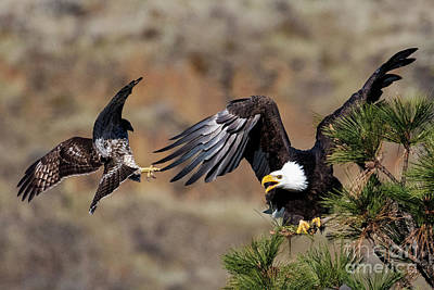 Photograph - Hawk Attack by Mike Dawson