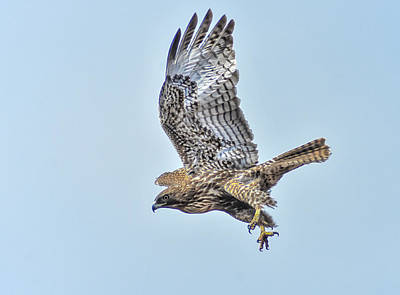Photograph - Hawk Attack by Rick Mosher