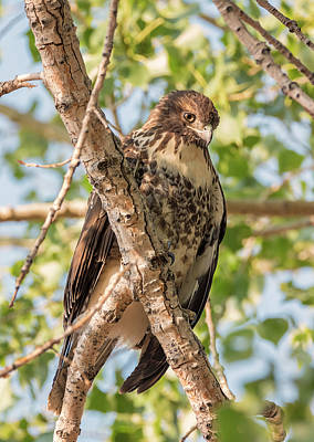 Photograph - Hawk Blending In by Loree Johnson