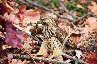 Photograph - Hawk Catches Prey by Jill Lang