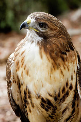 Photograph - Hawk Close Up by Jill Lang