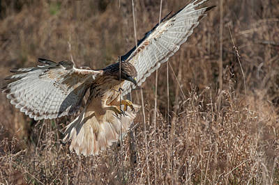 Photograph - Hawk Flying Into Tall Grass Chasing Rabbit by Dan Friend