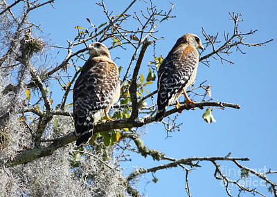 Photograph - Hawk Couple On Branch by Carol Groenen