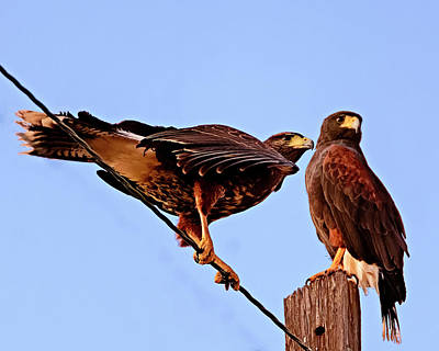 Photograph - Hawk Duo H34 by Mark Myhaver