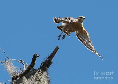 Photograph - Hawk Escape by Carol Groenen