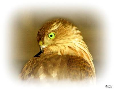 Photograph - Hawk Eye by Barbara S Nickerson