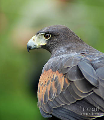 Photograph - Hawk Eye by Kathy Kelly