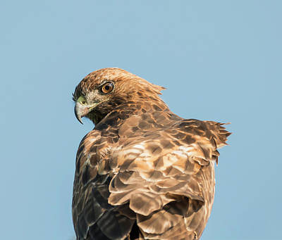 Photograph - Hawk Eye by Loree Johnson