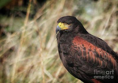 Photograph - Hawk Eye by Stephan Grixti