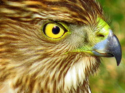 Photograph - Hawk Eye by Suzanne DeGeorge
