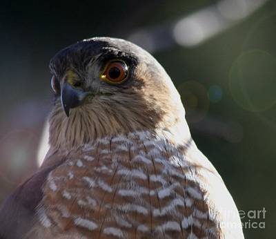 Photograph - Hawk Eyes by Mary-Lee Sanders
