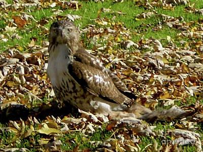 Hawk Falling Leaves Art Print