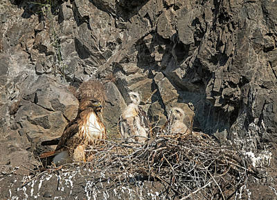 Photograph - Hawk Family by Loree Johnson