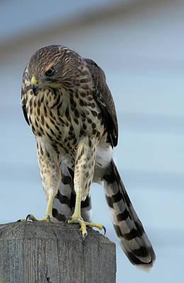 Photograph - Hawk Fence by Rae Ann  M Garrett