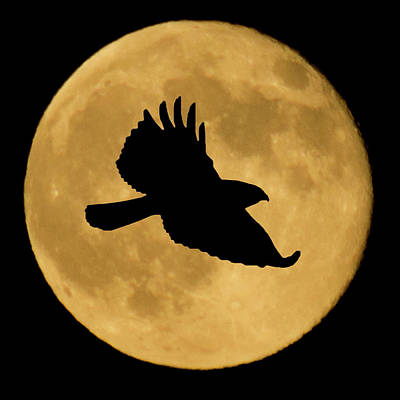 Mixed Media - Hawk Flying By Full Moon by Shane Bechler