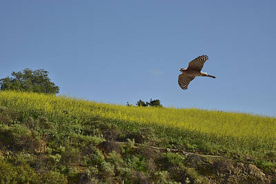 Soaring Hawk Photograph - Hawk Flying Over Field Of Yellow Mustard by Linda Brody
