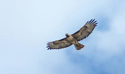 Photograph - Hawk Flyover 2 by Rick Mosher
