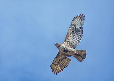 Photograph - Hawk Flyover 4 by Rick Mosher