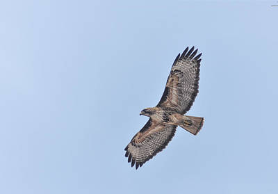 Photograph - Hawk Flyover by Rick Mosher