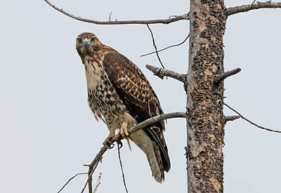 Photograph - Hawk Gawk by Loree Johnson