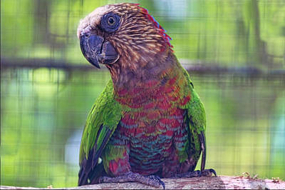 Photograph -  Hawk-headed Parrot by Nadia Sanowar