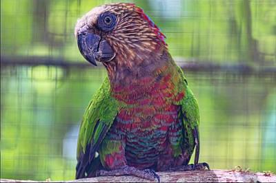 Photograph -  Hawk-headed Parrot by Nadia Sanowar