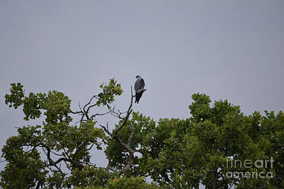 Mississippi Kite Photograph - Mississippi Kite High In The Tree by Ruth Housley