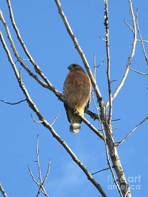 Photograph - Hawk In A Tree by Marie Neder