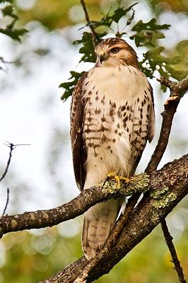 Photograph - Hawk In Evening Light by Michael Peychich