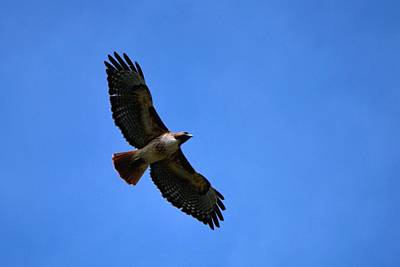 Photograph - Hawk In Flight - Blue Sky by Matt Harang