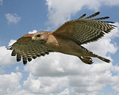 Red Shouldered Hawk Photograph - Hawk In Flight by Larry Linton