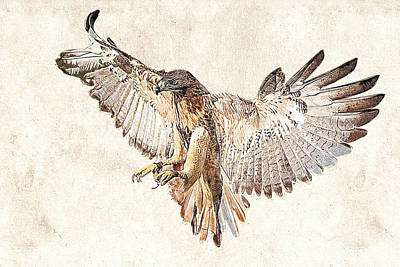 Photograph - Hawk In Flight Photographic Drawing by Dawn Currie