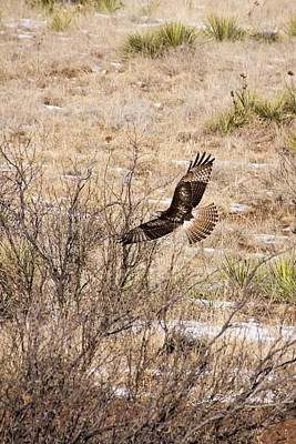 Photograph - Hawk In Flight by Ricky Dean