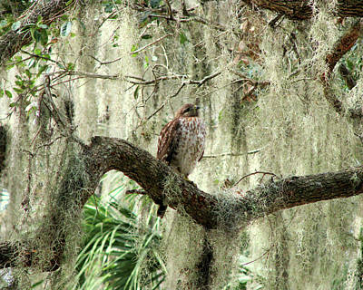 Photograph - Hawk In Live Oak Hammock by Peg Urban
